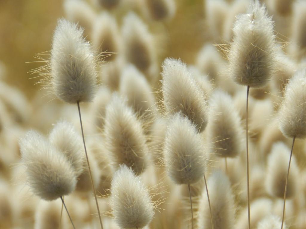 растение заячий хвостик фото существует цветок-мужегон